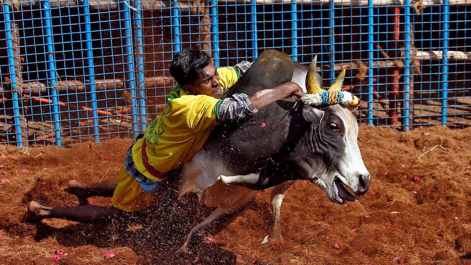 Мадурай, Индия. Местный житель пытается укротить быка во время индуистского праздника урожая