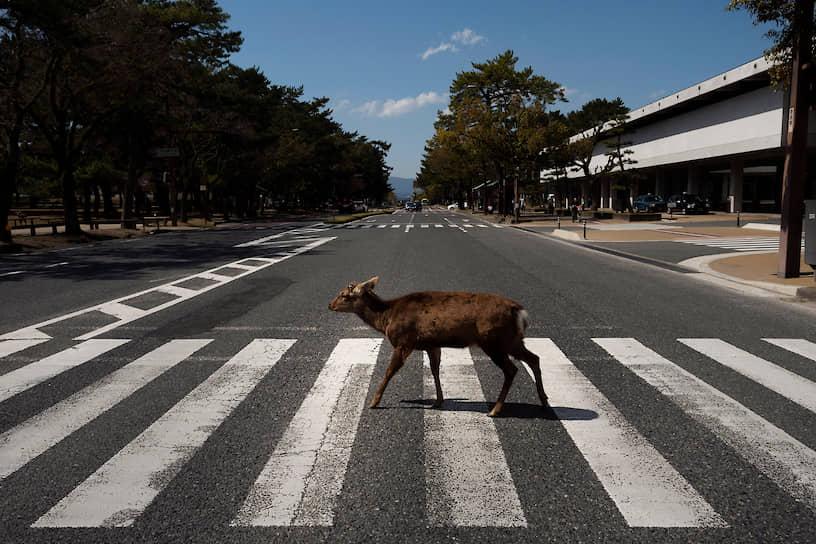 Нара, Япония. Олень прогуливается по городу