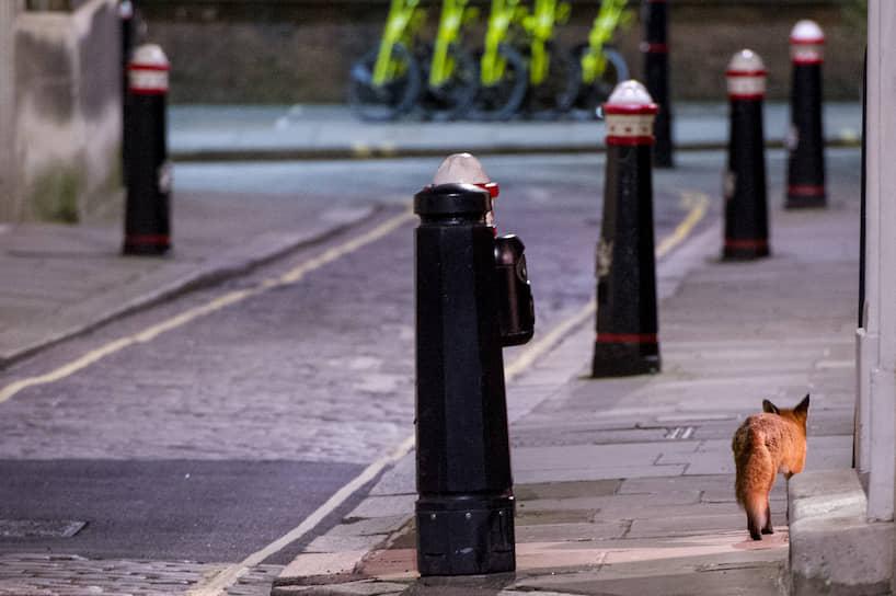 Лондон, Великобритания. Из-за введенного жесткого карантина в некоторых районах столицы королевства появляются дикие животные, например, лисы