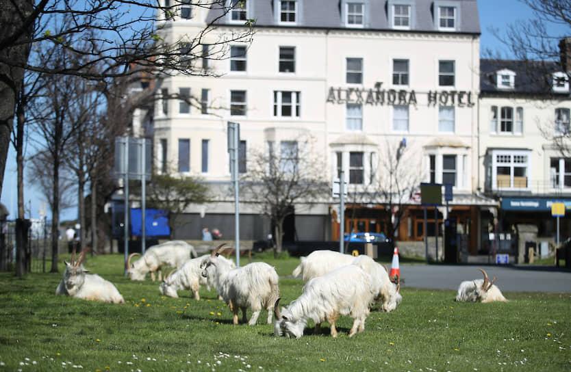 Лландидно, Великобритания. Козы пасутся в опустевшем городе