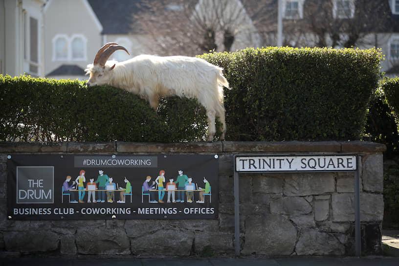 Лландидно, Великобритания. В рационе коз уэльсского городка появились живые изгороди, пока люди боятся выйти из дома из-за эпидемии COVID-19
