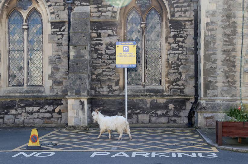 Лландидно, Великобритания. Козел прогуливается у церкви города