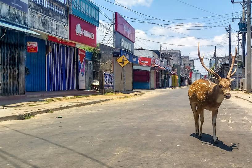 Тринкомали, Шри-Ланка. Дикий олень бродит по пустынному городу