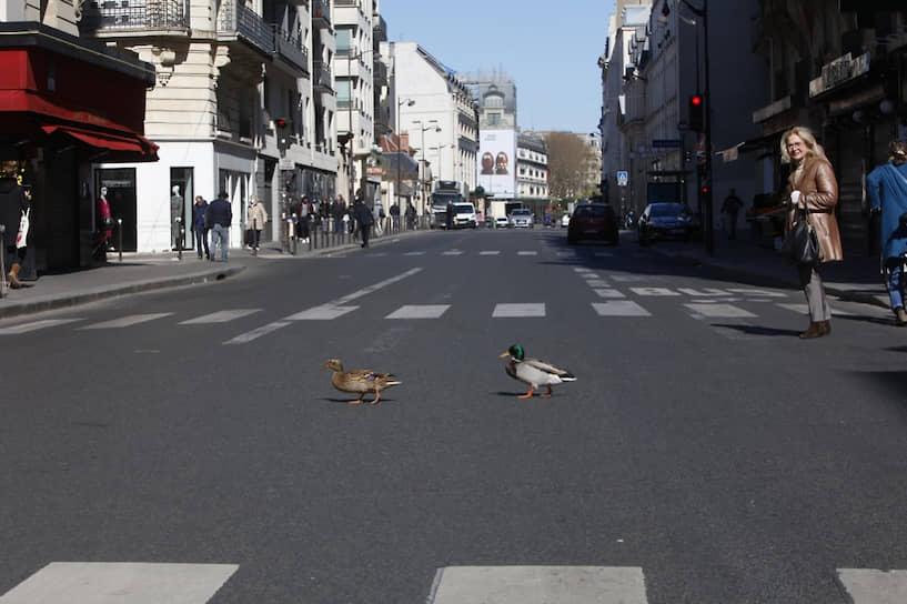 Париж, Франция. Немногочисленные люди, вышедшие на улицы, были удивлены парой диких уток, свободно прогуливавшейся по проезжей части