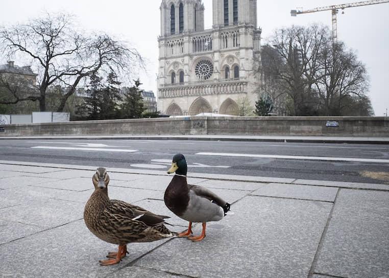 Париж, Франция. Четвертый день карантина. Утки покинули водоемы и прогуливаются по свободным от людей улицам