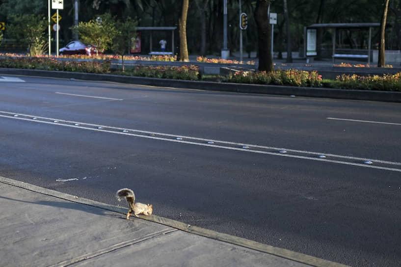 Мехико, Мексика. Белки больше не избегают автодорог