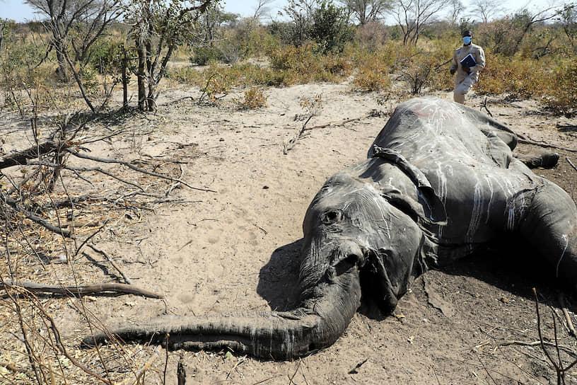 Серонга, Ботсвана. Мертвый слон, найденный ветеринарами