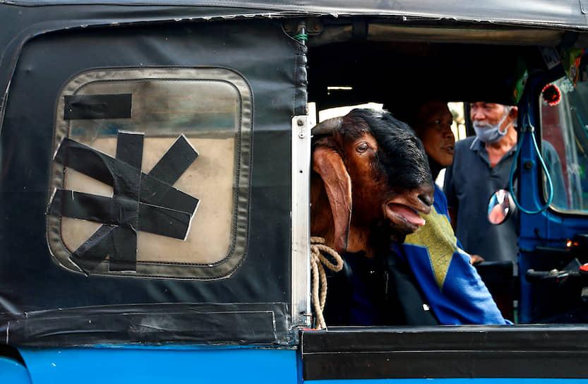 Джакарта, Индонезия. Коза в кузове рикши перед празднованием Курбан-байрама