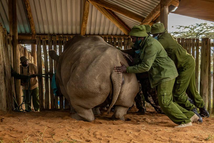 Наньюки, Кения. Носорог в заповеднике