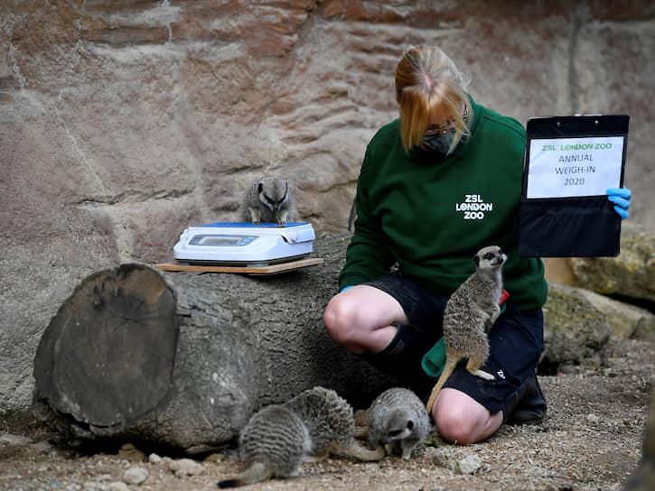 Лондон, Великобритания. Сотрудница зоопарка взвешивает сурикатов