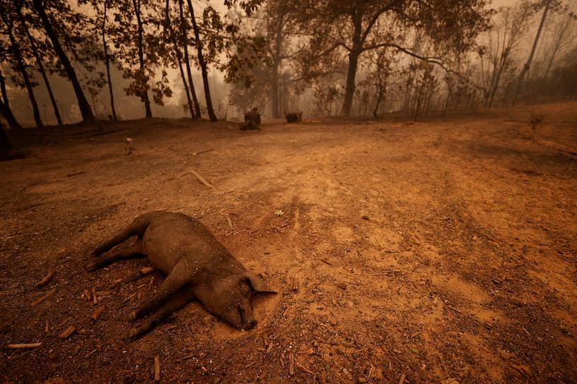 Свинья, погибшая в зоне лесных пожаров