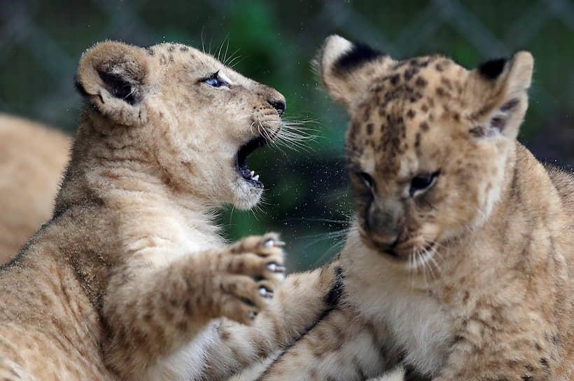 Двур-Кралове-над-Лабем, Чехия. Новорожденные львята в зоопарке