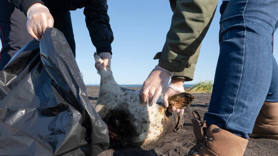 Чиновники и ученые пока не знают причину падежа морских животных на Камчатке