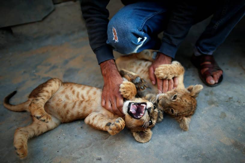 Хан-Юнис, Палестина. Мужчина играет с львятами, которых он купил в местном зоопарке