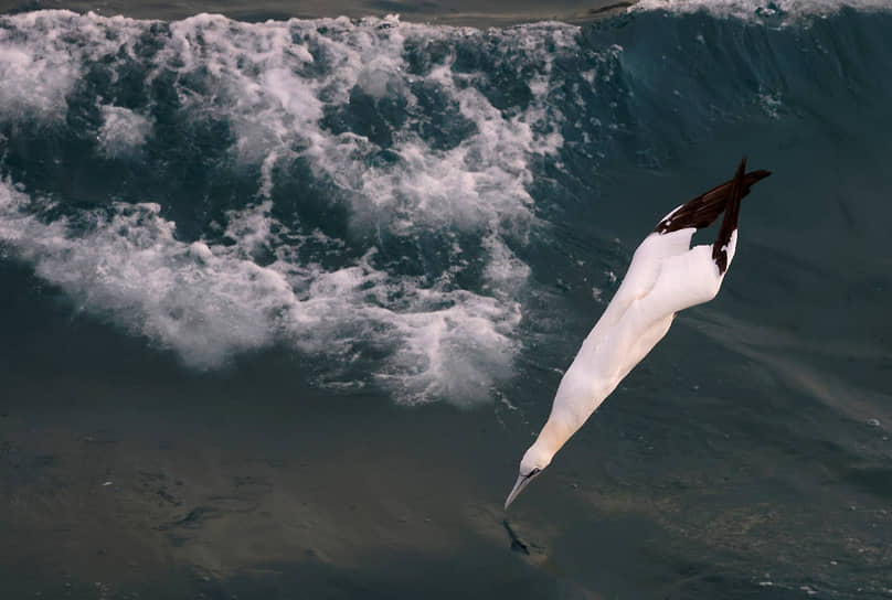 Булонь-сюр-Мер, Франция. Птица ныряет в море