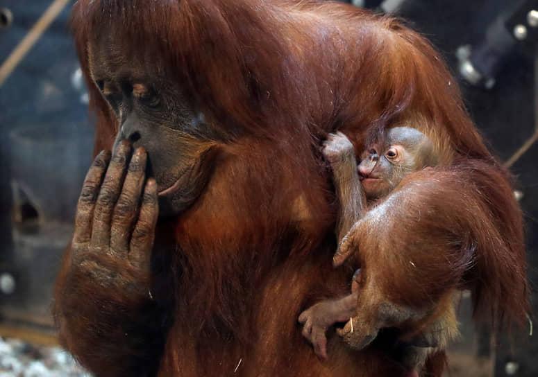 Брюжлет, Бельгия. Самка орангутана с детенышем в зоопарке