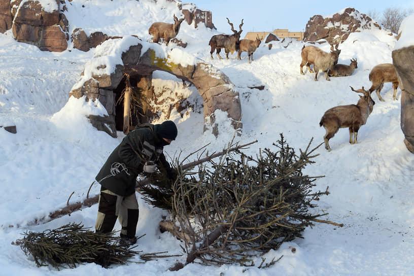 Москва. Сотрудник зоопарка использует для кормления животных одну из елок, нераспроданных на столичных елочных базарах