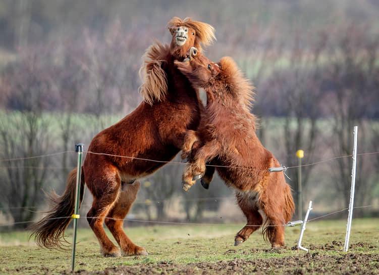 Франкфурт, Германия. Исландская лошадь (слева) и шетлендский пони играют на ферме