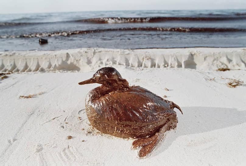 В результате разлива нефти было поражено около 600 км береговой линии, погибло 80% поголовья скота Кувейта <br>На фото: отравленная нефтью чомга на берегу Персидского залива, полуостров Абу-Али, Саудовская Аравия