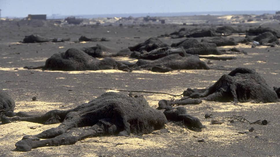 За время Войны в Персидском заливе популяция верблюдов Кувейта сократилась с 10 тыс. до 2 тыс. особей