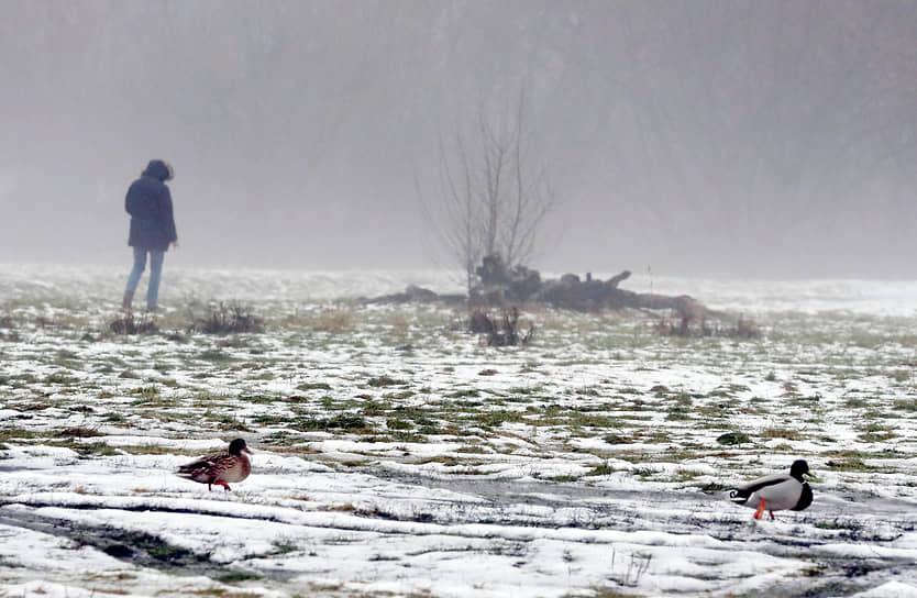 Варшава, Польша. Утки на заснеженном поле