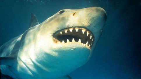 Осторожно, акулы // Древним врагам человека грозит вымирание