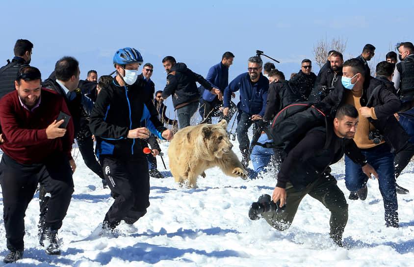 Дахук, Ирак. Курдские активисты выпускают медведя в дикую природу