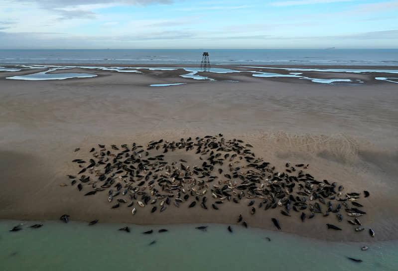 Кале, Франция. Несколько десятков серых тюленей расположились на песчаной отмели недалеко от маяка Вальде