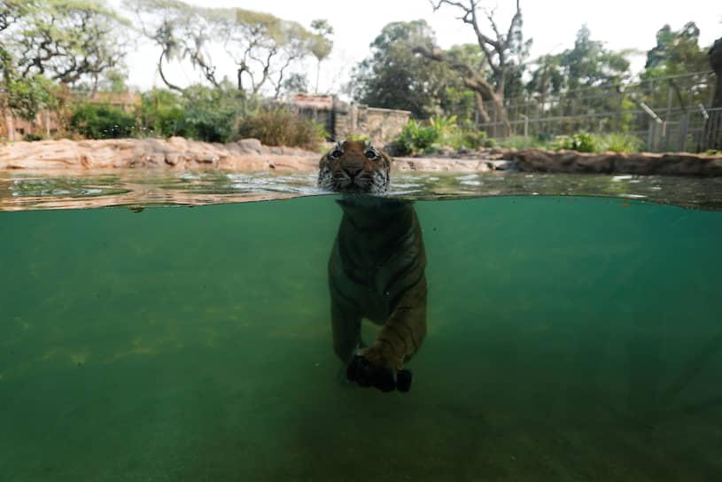 Мумбаи, Индия. Тигр плавает в вольере зоопарка после того, как он впервые открылся после карантина из-за пандемии коронавируса