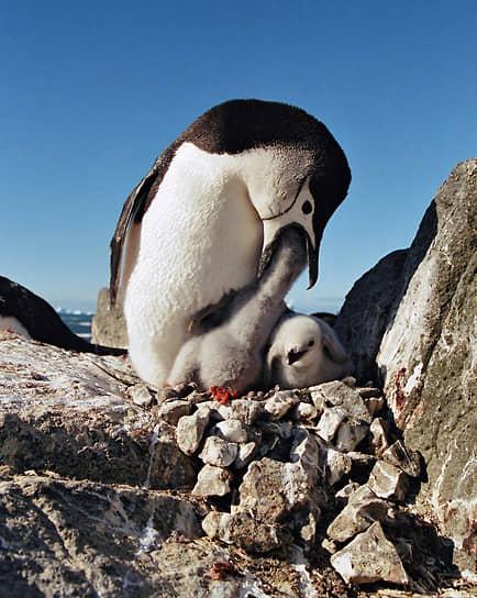 Антарктида. Пингвин кормит птенцов
