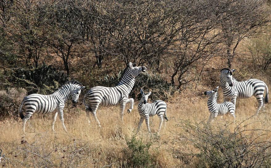 Национальный парк Этоша, Намибия. Зебры в саванне