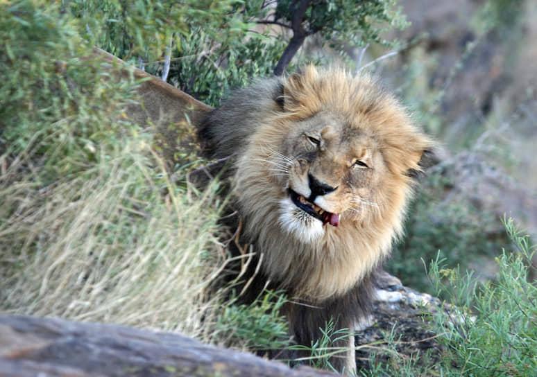 Национальный парк Этоша, Намибия. Лев в саванне
