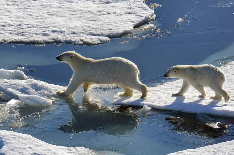 Арктика, Россия. Белые медведи идут по льдинам