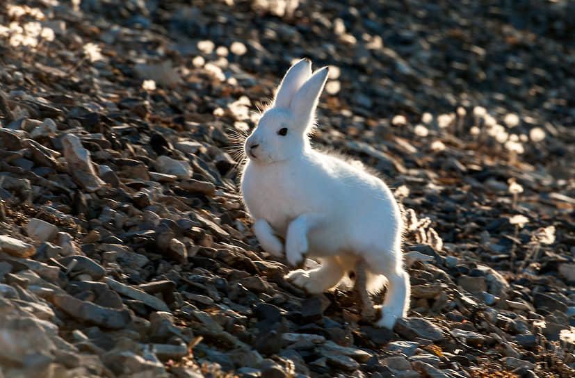 Гренландия, Дания. Заяц бежит по камням