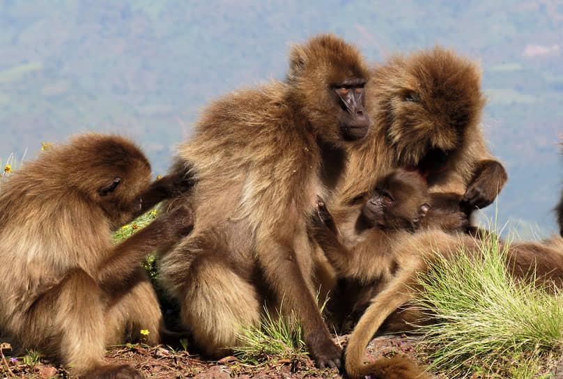 Национальный парк Сымен, Эфиопия. Семейство обезьян гелад