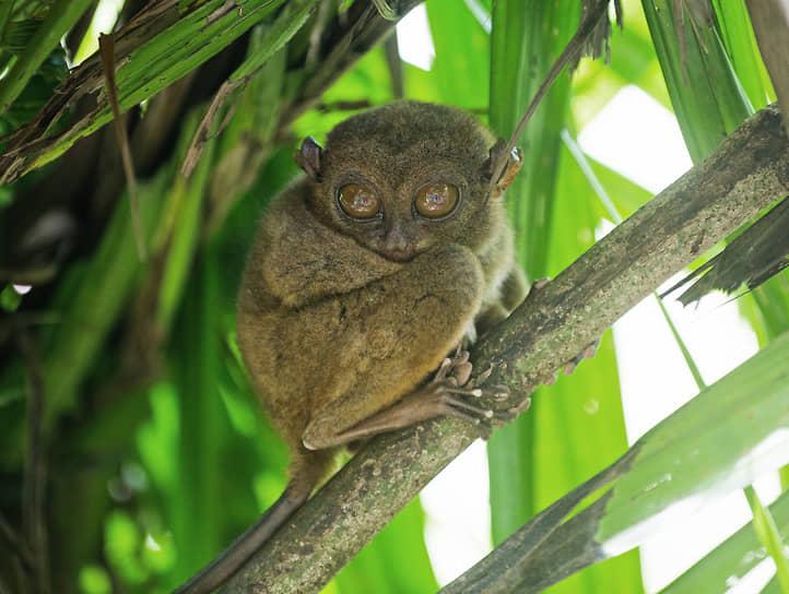 Филиппины. Долгопят на ветке дерева
