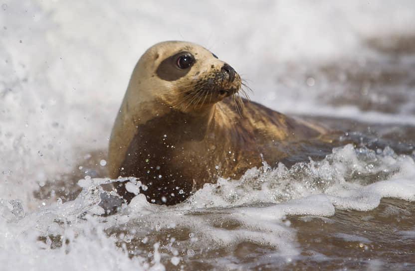 Куршская коса, Россия. Специалисты Калининградского зоопарка выпустили тюленя в Балтийское море