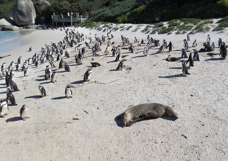 Кейптаун, ЮАР. Пингвины на пляже Боулдерс