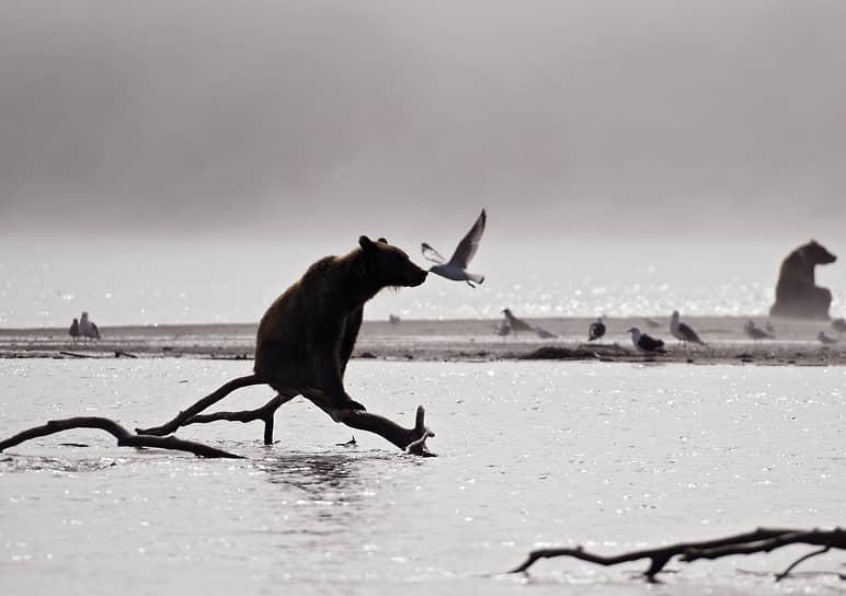 Камчатский край, Россия. Медведи и чайки на Курильском озере