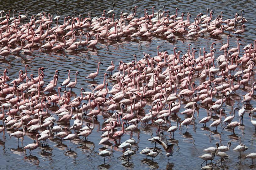 Национальный парк Аруша, Танзания. Колония фламинго на озере