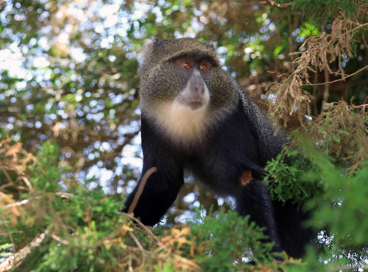 Национальный парк Аруша, Танзания. Голубая мартышка на ветке