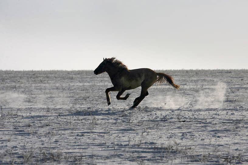 Ростовская область, Россия. Дикая лошадь скачет по замерзшему озеру Маныч-Гудило