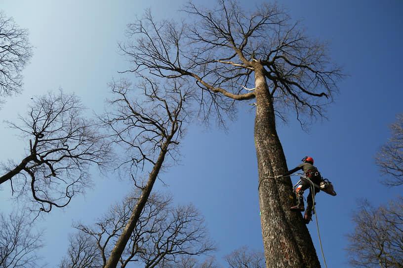 Луара, Франция. Вырубка деревьев для реставрации Собора Парижской Богоматери