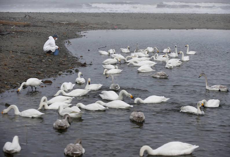 В зоне эвакуации Фукусимы появилось много диких животных. Наиболее распространены кабаны, зайцы, макаки, различные виды птиц, лисы и енотовидные собаки<br> На фото: волонтер кормит лебедей в зоне отчуждения