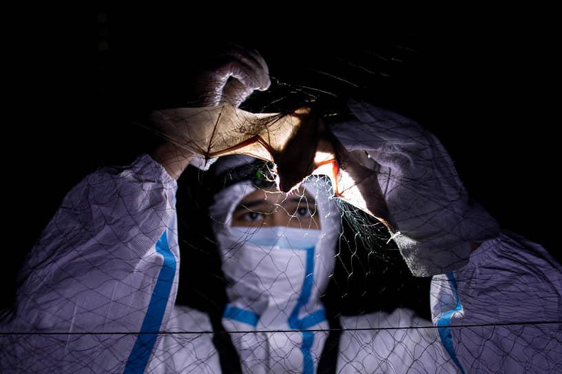 Лос-Баньос, Филиппины. Эколог помогает летучей мыши выпутаться из сети