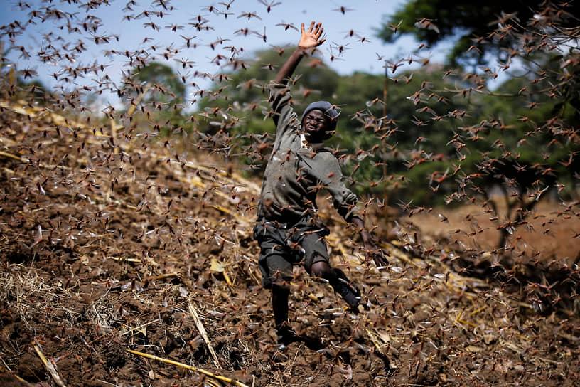 Элбургон, Кения. Мальчик убегает от саранчи на ферме