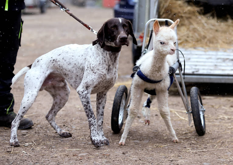 Фрайзен, Германия. Собака с детенышем альпаки на ферме