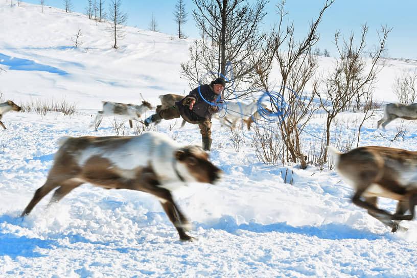 Летом олени едят траву, грибы, объедают листья кустарников, а зимой – разгребают копытами снег, чтобы добраться до ягеля, лишайников и травы
