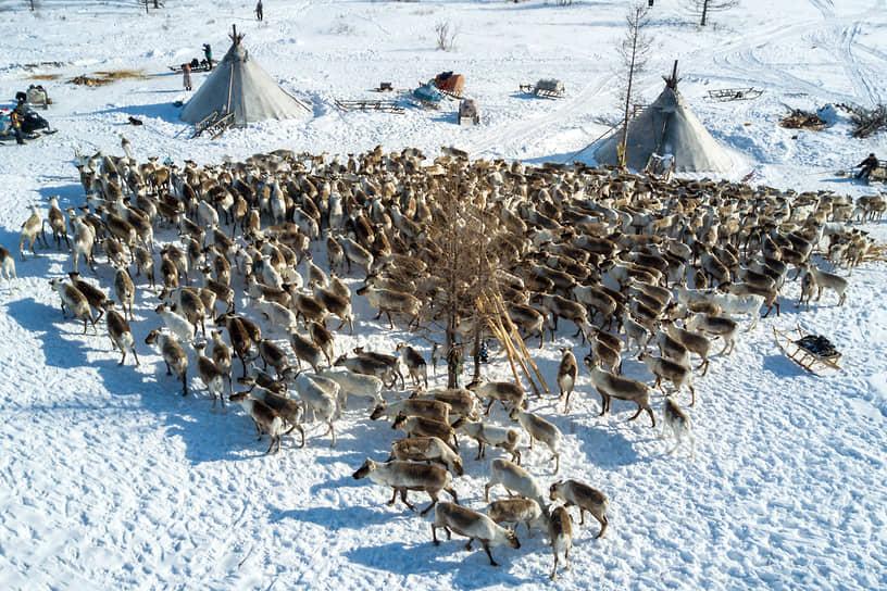 Стадо оленей на зимнем стойбище
