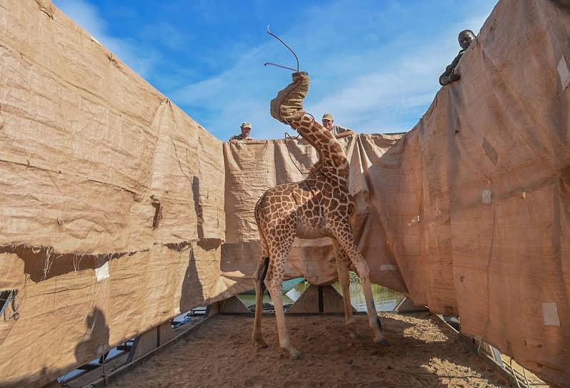 Обладателем награды за одиночный снимок в категории «Природа» стала американка Ами Витале, запечатлевшая транспортировку в заповедник одного из редких жирафов Ротшильда